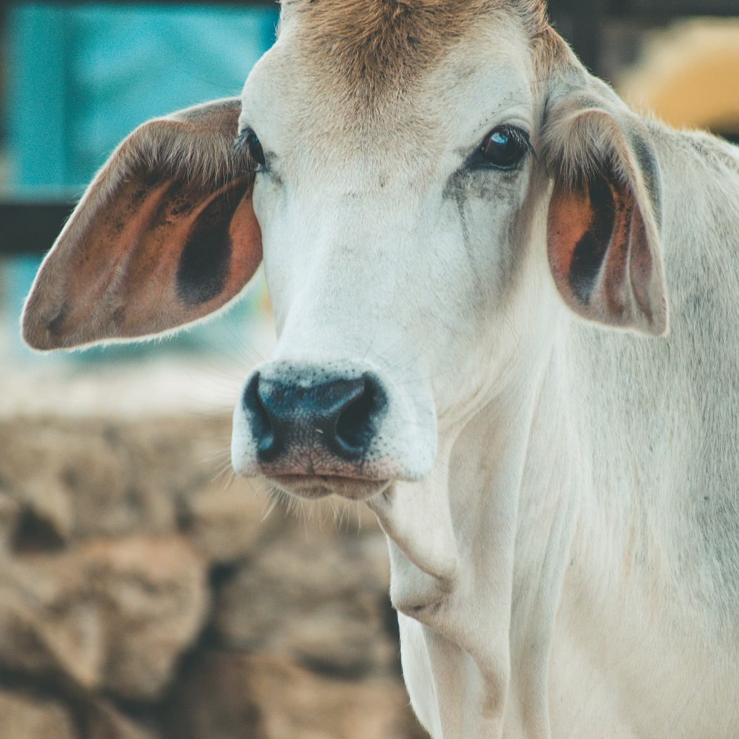 India dairy industry